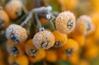 Frozen dew droplets on a yellow berried pyracantha.