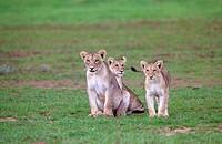 African lions Panthera leo - Young, in the rain, Kgalagadi Transfrontier Park, Kalahari desert, South Africa