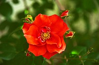 Red rose (Rosa sp.), garden flower