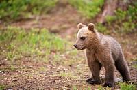 Cubs, Ursus arctos arctos, European brown bear, Martinselkonen Nature Park, region of Kainuu, Finland, Scandinavia, Europe