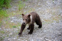 Spring Grizzli bear cub aged 6 months old Ursus arctos horribilis Brooks river, Katmai National Park, Alaska, USA