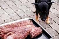 Dog looking at a dish of meat, Denmark.