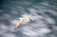 A fulmar flying.