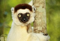 Portrait of a lemur, Madagascar.