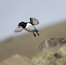 Little auk, Spitsbergen, Svalbard, Norway.