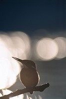 The silhouette of a kingfisher against the light, Poland.
