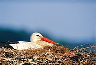 Stork in its nest, Sweden.