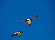 Two puffins against blue sky, Norway.