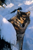 Wolf, Halsingland, Sweden.