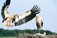Two storks, Skane, Sweden.