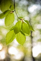 Leaves of beech, close_up, Sweden.