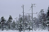 A goshawk in a forest, Finland.