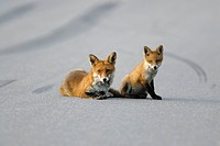 Fox with its cub on an asphalt road, Sweden.