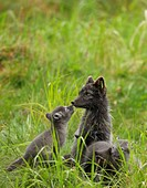 Arctic Fox mother with her cubs, Sweden.