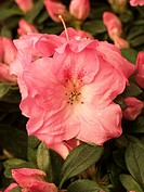 Rhododendron hybr
