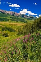 Wildflowers near Gothic near Crested Butte, Colorado USA