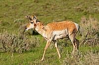 Yellowstone, Pronghorn antelope doe near Specimen Ridge at Yellowstone National Park in northwestern Wyoming