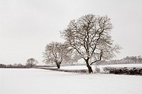 Trees in the countryside after overnight snow  Wrington, Somerset, England, United Kingdom