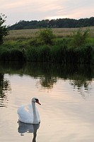 White swan Cygnus olor in a lake of Cumbach area, Turingen, Germany
