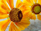 Two Helenium autumnale flowers on frosted glass patio table