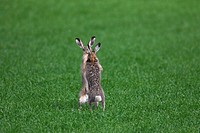 European Brown Hares Lepus europaeus boxing / fighting in field during the breeding season, Germany