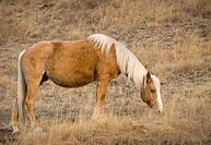 Cochrane, Alberta, Canada, A Brown Horse Feeding On Grass