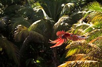 Roatan, Bay Islands, Honduras, Scarlet Macaws Ara Macao In Flight In The Forest Preserve