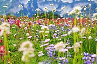 Washington, United States Of America, Wildflowers In A Meadow In Mt. Rainier National Park