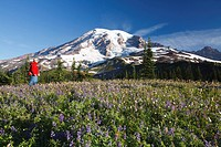 Washington, United States Of America, A Man Hiking Through The Wildflowers With Mount Rainier In The Background In Mt. Rainier National Park