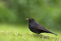 European Blackbird Turdus merula adult male, standing on garden lawn, Berwickshire, Borders, Scotland, spring