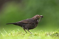 European Blackbird Turdus merula adult female, collecting earthworms in beak, standing on garden lawn, Berwickshire, Borders, Scotland, spring
