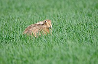 European Hare Lepus europaeus adult, feeding on winter wheat in field, Norfolk, England, april