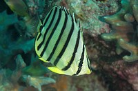 Eight_banded Butterflyfish Chaetodon octofasciatus adult, Pulau Putri, Thousand Islands, Jakarta, Java, Indonesia