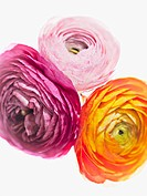 Close up of vibrant ranunculus