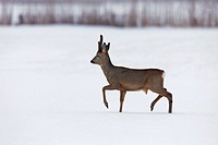 Roe deer Capreolus capreolus buck walking in field in the winter in the snow, Germany