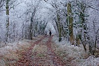 Frost covered woodland trees, with walkers on track, Hadleigh, Suffolk, England, january