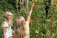 Girls picking fresh tomatoes