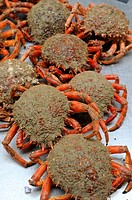 Spider crabs, fish market hall, Vannes, Gulf of Morbihan, Brittany, Bretagne, France