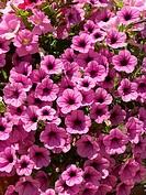 Petunia pendula hybr