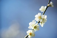 Plum flowers on branch, close up, blue background, differential focus