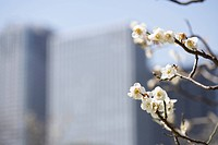 Plum flowers on branch, office buildings in background, differential focus, Tokyo prefecture, Japan
