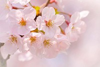 Close Up Image of Cherry Blossom Flower