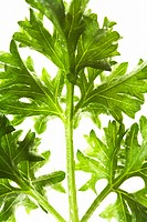 Close_Up of Green Parsley Leaves