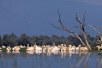 White pelicans  Kerkini lake  Greece.