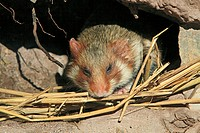 Common Hamster  Black bellied hamster  Cricetus cricetus  Order : rodentia  family : muridae.