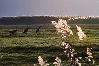 Photograph of Cranes in the Chula valley