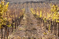 Photograph of a vineyard in the Galilee