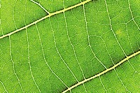 Lime tree leaf (thumbnail)