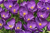Crocuses