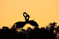 Silhouette of Great Blue heron Ardea herodias pair courting on tree, Venice Rookery, Venice, Florida, USA